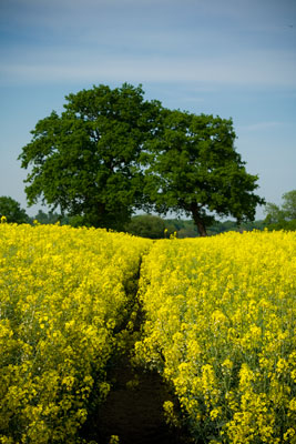 Roadside Oilseed rape (Brassica napus)