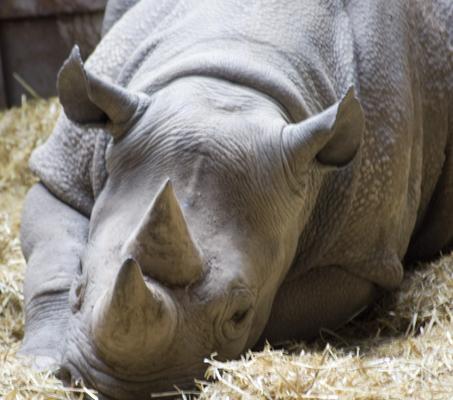 Black Rhino, Chester Zoo