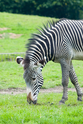 Zebra grazing, chester Zoo
