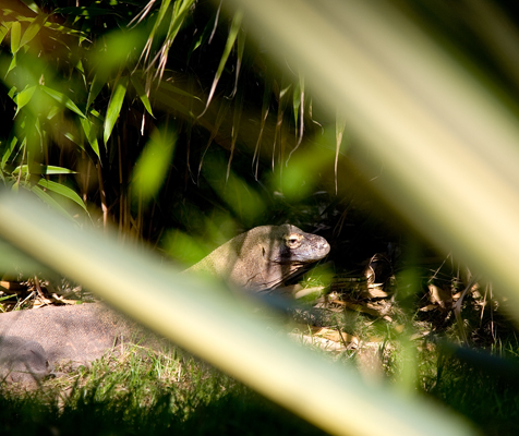 Komodo Dragon in the bushes