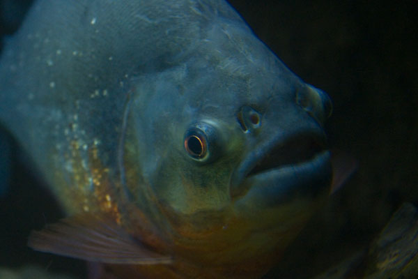 Red Bellied Piranha Lurking in the Dark at the Blue Planet Aquarium