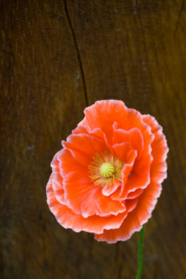 Poppy with a Wood Background at Mount Pleasant Gardens