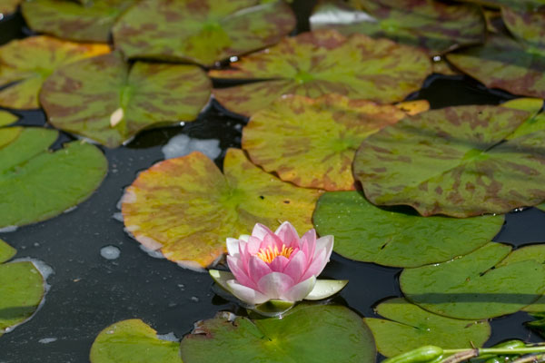 Water Lily on the pond at Mount Pleasant Gardens
